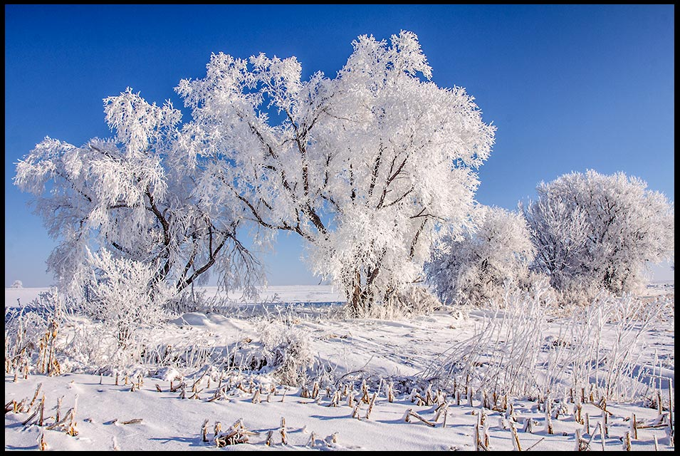 Snow and hoarforst covered trees and cornfield with a blue sky, Sarpy County, Nebraska. Bible Verse of the Day: Psalm 96:9 and Psalm 96:9 splendor of holiness