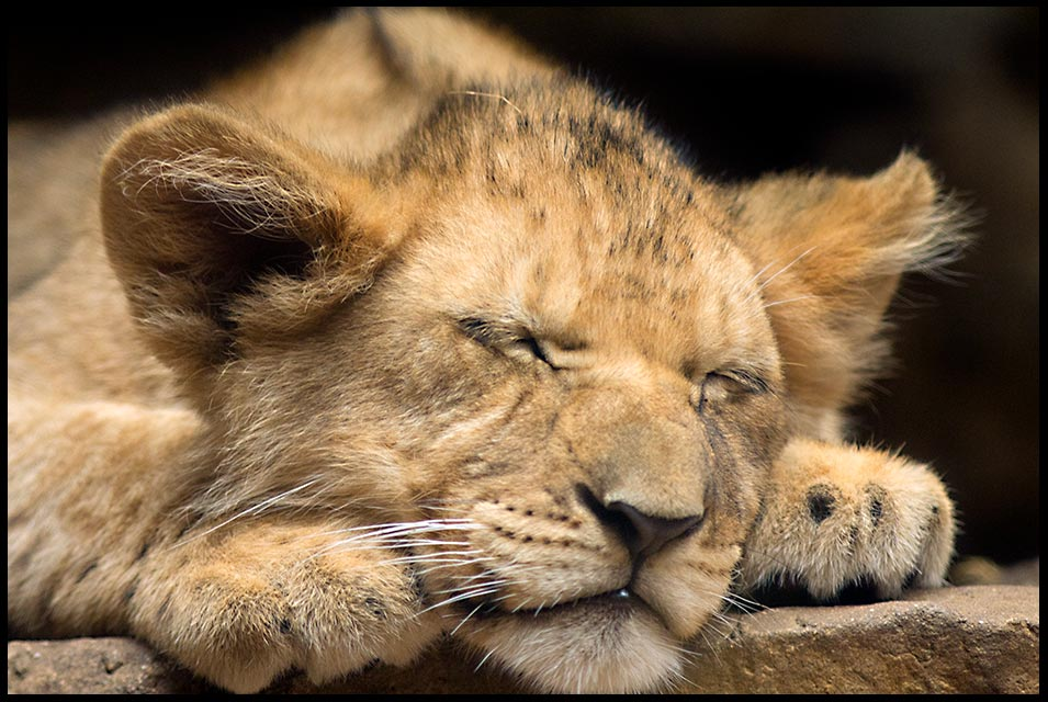 Lion club sleeps at the Henry Doorly Zoo, Omaha used for Bible verses 116:7-8 Rest in God