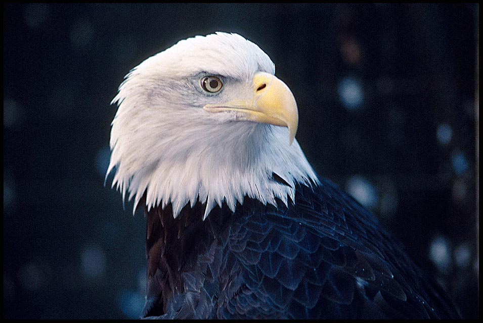 A bald eagle portrait, New York State. Bible Verse of the Day: Matthew 14:27 Take courage