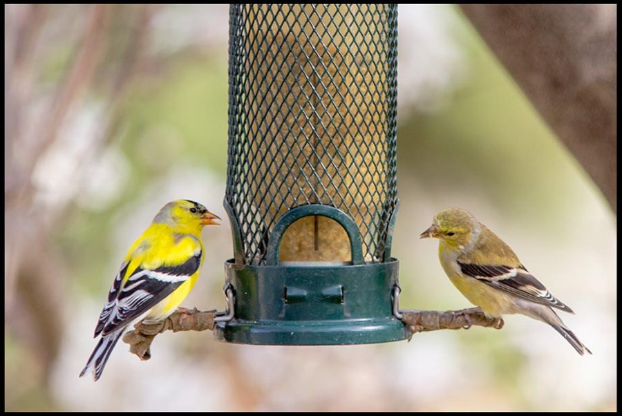 A male and female goldfinch eat mullet from a birdfeeder, Bellevue, Nebraska. Bible Verse of the Day: Song of Solomon 2:10, Arise, my darling