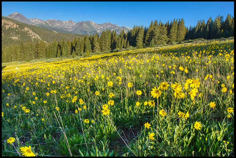 Mountain meadow with yellow wildflowers and blue sky, Summit County, Colorado and 1 Chronicles 16:31. let the earth rejoice
