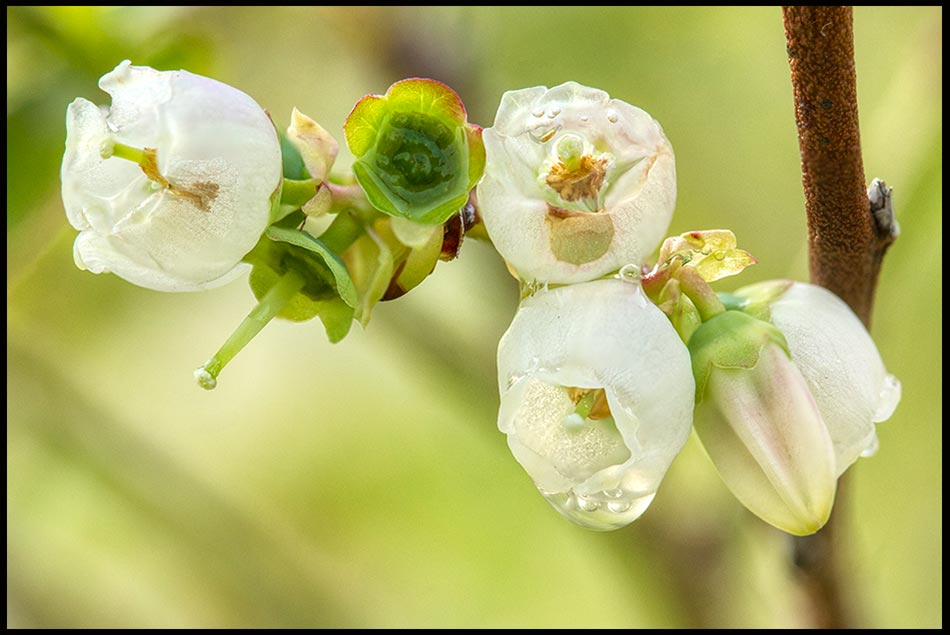 White blueberry blossoms, Bellevue, Nebraska and Ezekiel 36:25-26 Bible verse about a new heart