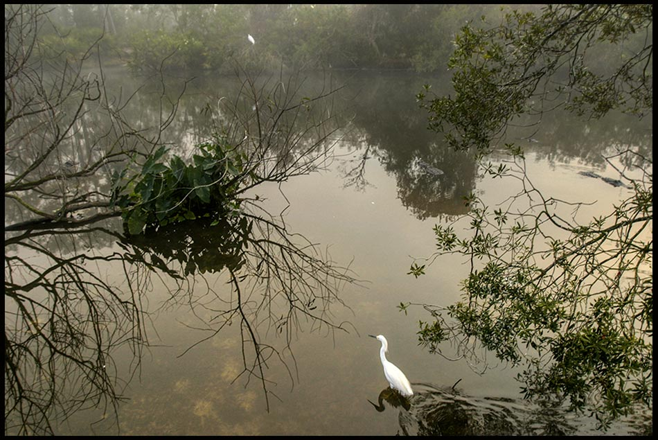 A snowy egret wading in swamp in a fog, Central Florida. Bible Verse of the Day: Psalm 119:9 Don't let me wander