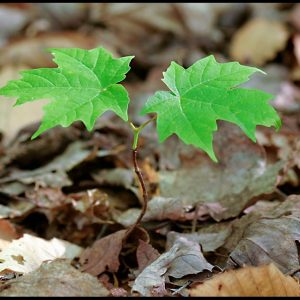 A new maple tree sapling rising up from the floor of the woods, Emery Park, South Wales, New York and John 11:25 and bible verse I am resurrection and life