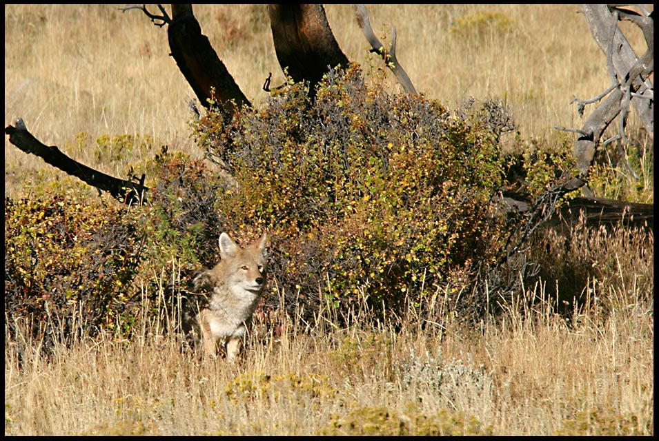 A coyote pops out from a bush in the brown fall grass of Moraine Park. Bible Verse of the Day: Isaiah 43:20, the goodness of God and His promises Rocky Mountain National Park, Colorado.