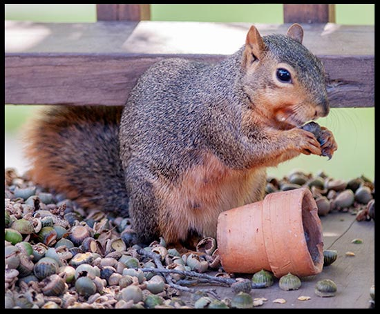 A squirrel in a pile of acorns eating one. Acorn show there is meaning to life.
