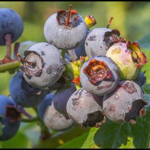 Ripe Blueberries on the vine or bush, Bellevue, Nebraska. Bible verse of the Day John 5:15 I am the vine