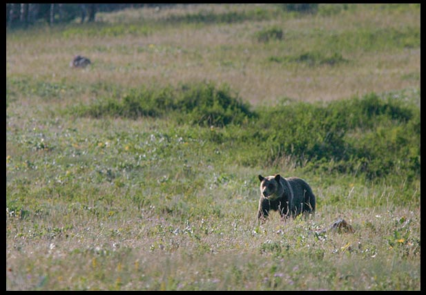 A distant grizzly bear in a field. It's rounded ears help distinguish it from a black bear. It's important to be able to have truth and discernment when looking at the differences between bear species.