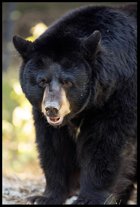 A mature female black bear. Truth and discernment are important when it comes to telling the difference between a black bear and a grizzly bear.