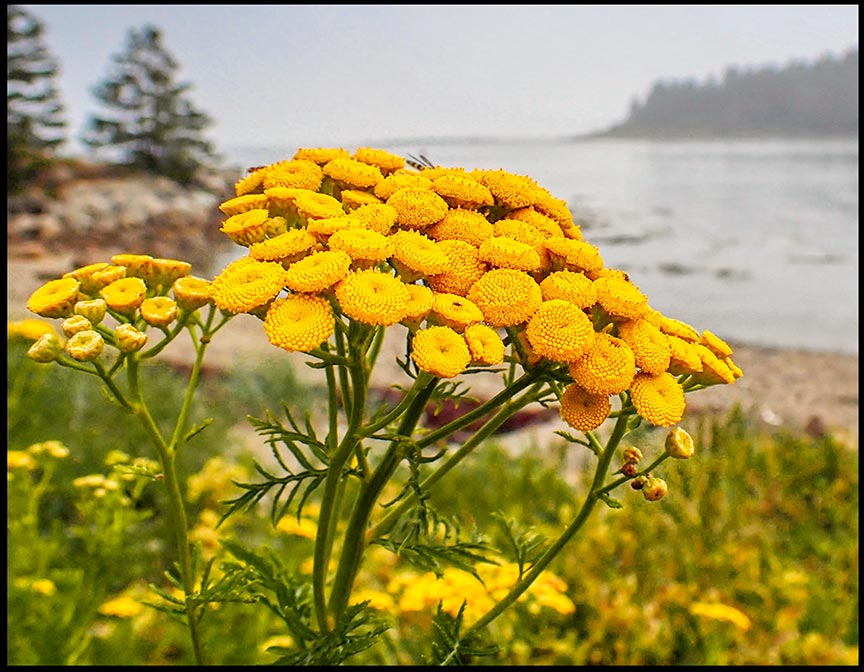Yellow common tansy on the coast of Maine overlooking Tibbet Island. Visual Bible Verse of the Day: Guest Post by Sydney Michalski: 2 Corinthians 4:6