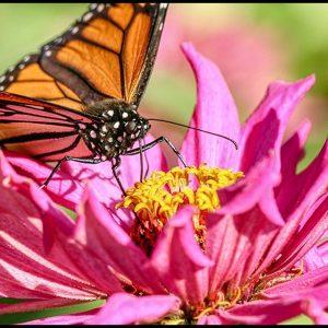 Monarch Butterfly on Zinnia Flower, Eastern Nebraska
