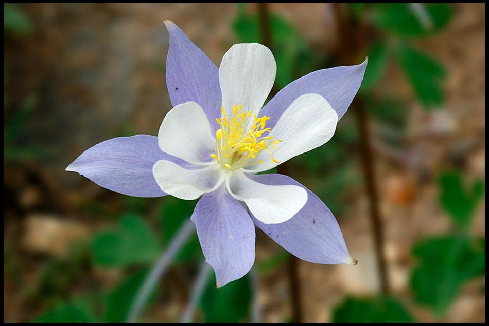 Purple columbine flower in Rocky Mountain National Park, Colorado and John 15:13-14 Bible verse on no greater love